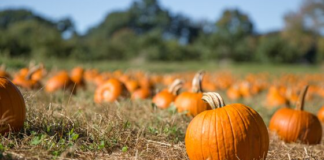 Pumpkin Patches in WNY