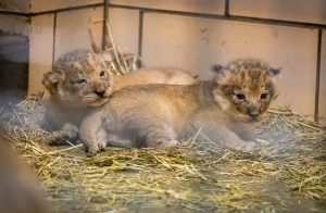 New lion cubs at the Buffalo Zoo